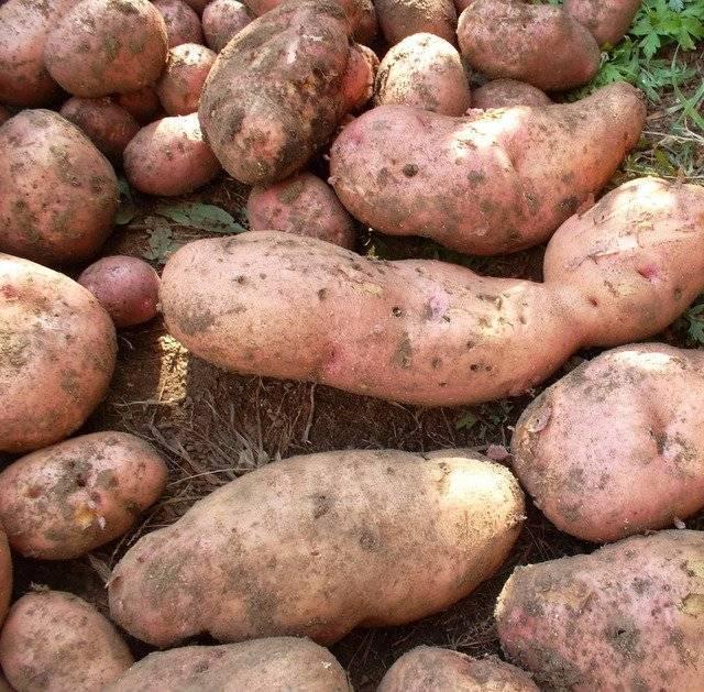 Картофель лапоть: описание сорта, фото, болезни и вредители