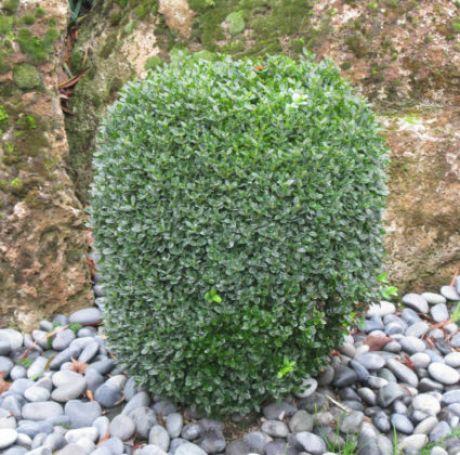 Как вырастить самшит в открытом грунте: его посадка, уход и способы размножения самшита, фото