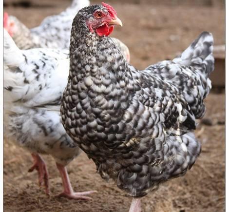 Форверк: описание породы кур, ее характеристики и особенности выращивания
