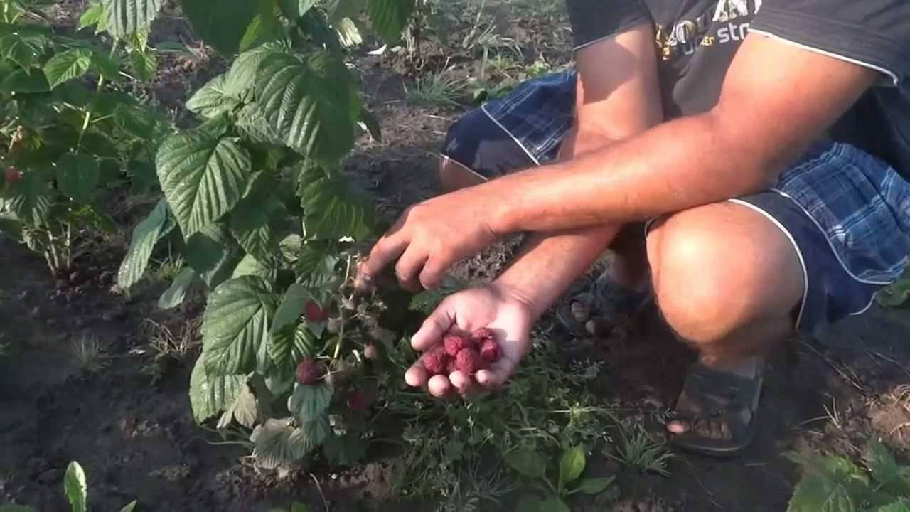 Малина пересвет: описание сорта, фото и размер ягод, сроки и особенности сбора урожая, видео, отзывы
