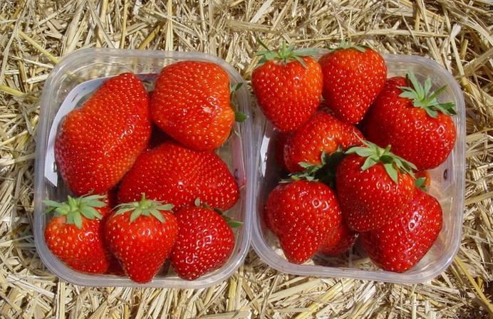 """Клубника """"кимберли"""" – как вырастить в саду сладкую ягоду?"""