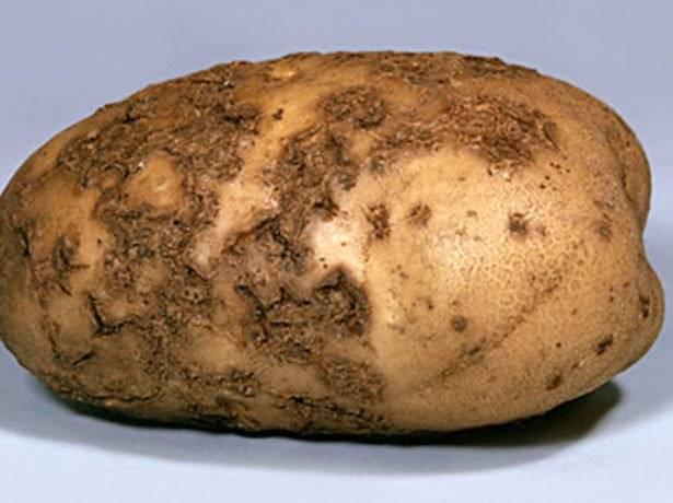 Картофель барин: характеристика и особенности выращивания сорта
