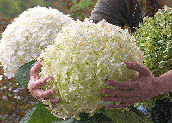 Гортензия анабель — описание растения, посадка, уход и размножение