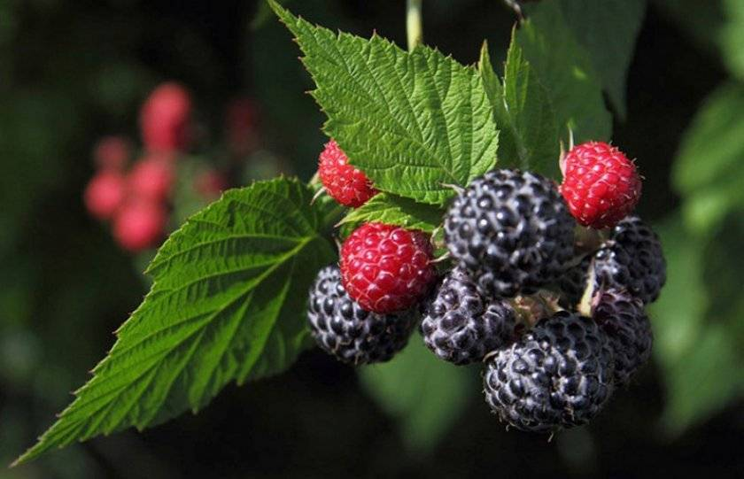 Чёрная малина кумберленд: описание и характеристика сорта, достоинства и недостатки, особенности посадки и ухода + фото и отзывы