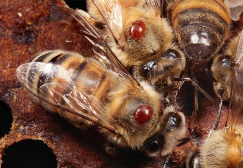 Ноземат, инструкция при лечении пчел от нозематоза