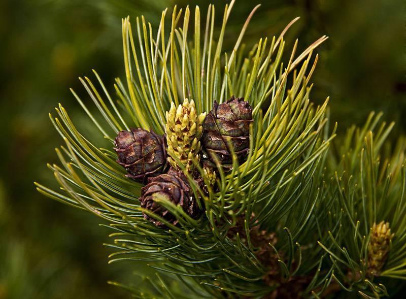 Кедровый стланик: описание и выращивание из семян
