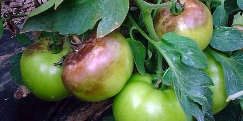 Как правильно хранить зеленые помидоры чтобы они покраснели и дозрели в домашних условиях?