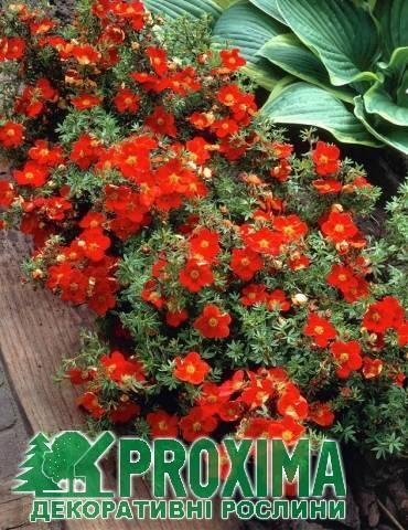Лапчатка кустарниковая Мэрион Ред Робин: фото и описание