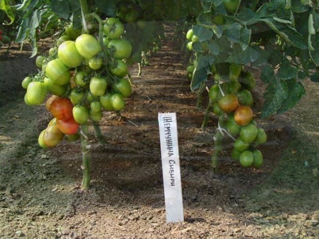 Правила выращивания томатов в сибири и лучшие сорта для суровых условий