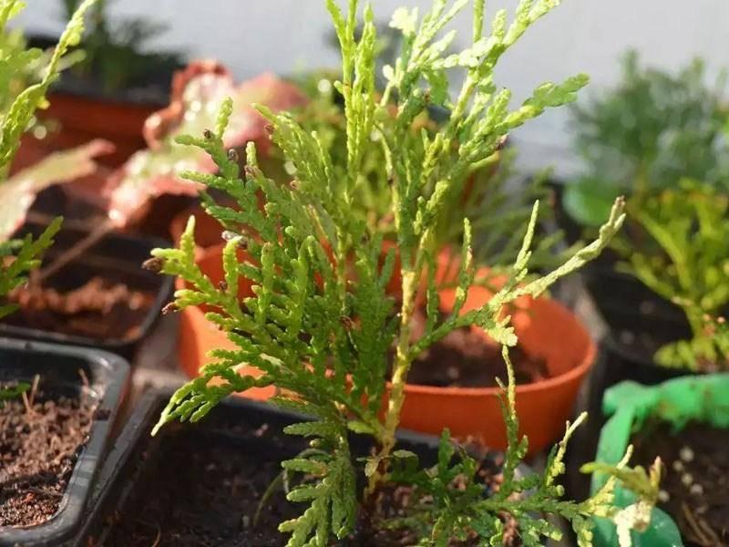 Выращивание и размножение самшита в доме и в открытом грунте