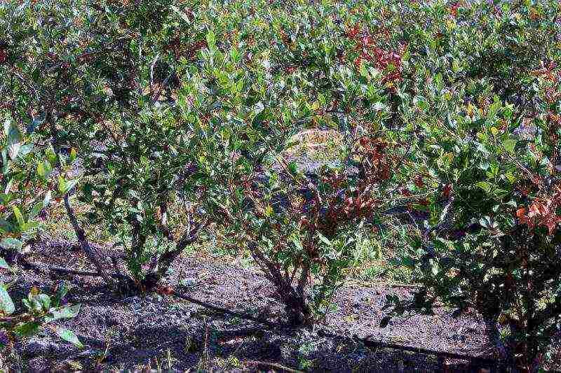 Голубика: подготовка к зиме осенью