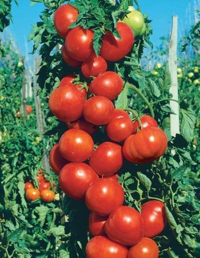 Томат денежный мешок: характеристика и описание сорта, фото, урожайность. отзывы огородников