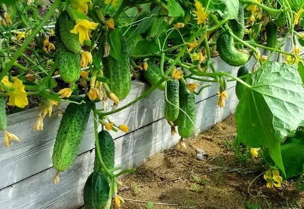 Агротехника выращивания ранних огурцов в теплице