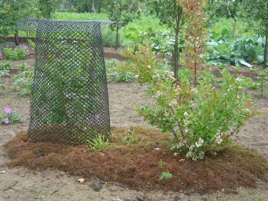 Как вырастить голубику в краснодарском крае