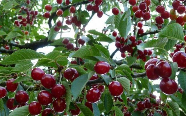 Универсальный сорт с отличным вкусом — вишня ровесница