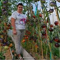 Сорт помидор ирина f1: урожайность и отзывы