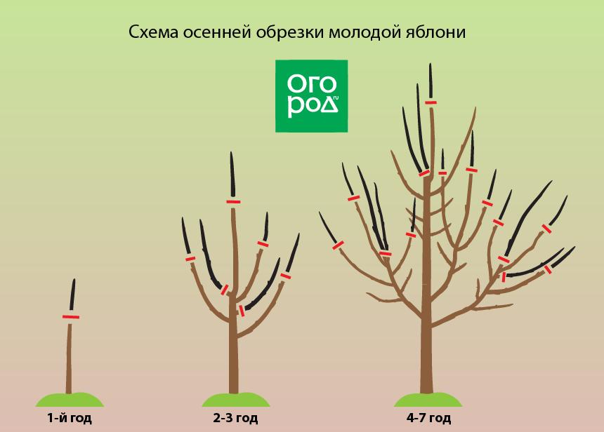Как обрезать молодую яблоню осенью + схема