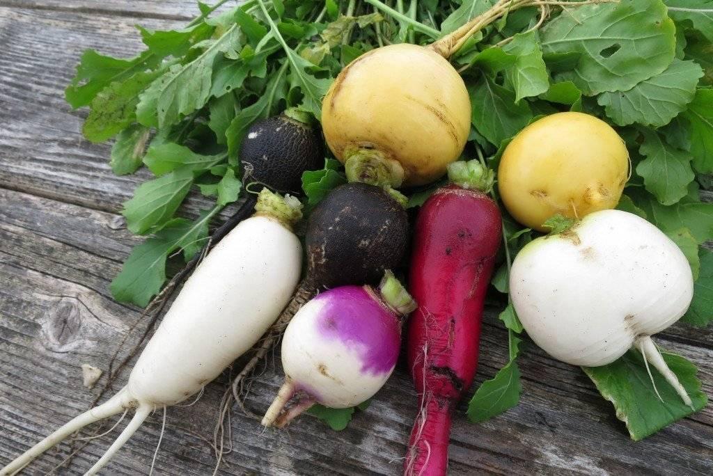 Польза редьки и ее вред для здоровья организма человека: чем ценна красная и другие виды, как свойства овоща применяются в лечебных целях, каковы противопоказания?