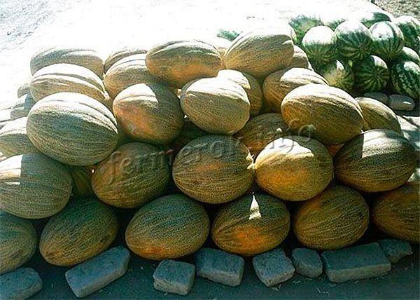 Калорийность дыни колхозницы: углеводы на 100 грамм, как правильно выбрать спелую и сладкую, когда можно покупать, польза и вред для организма, выращивание