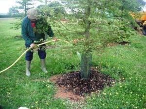 Сорт груши чудесница — ботаническое описание и характеристика