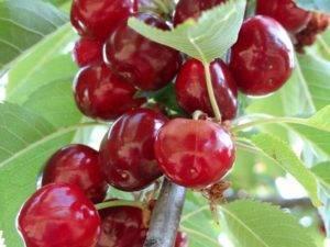 Вишня тургеневская описание сорта и отзывы, саженцы вишни тургеневка и уход за ними