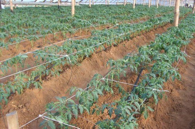 Когда высаживать томаты в теплицу в сибири и что можно сажать вместе