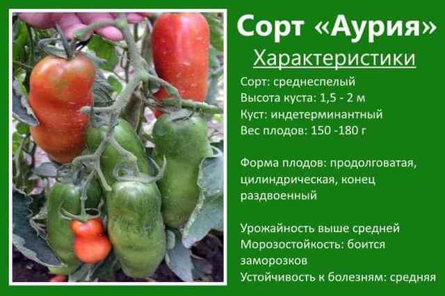 Аурия: описание сорта томата, характеристики помидоров, посев