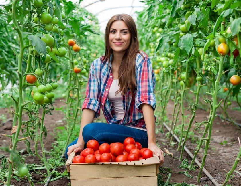 Настоящий лидер в любой теплице — томат вова путин: описание сорта и его характеристики
