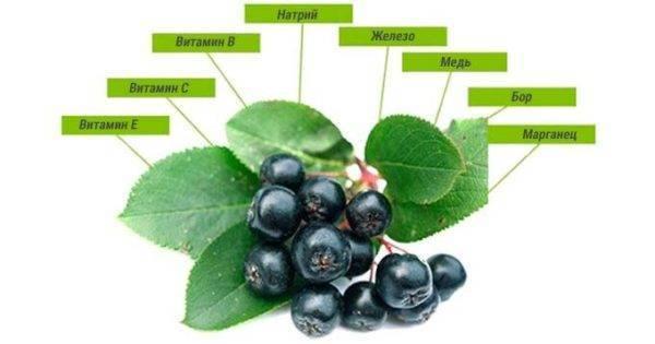 Черноплодная рябина: лечебные свойства и противопоказания к применению аронии