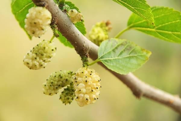 Листья тутовника лечебные свойства