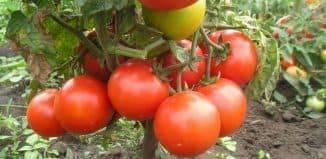 Низкорослые томаты для открытого грунта без пасынкования: описания сортов с фото и отзывами