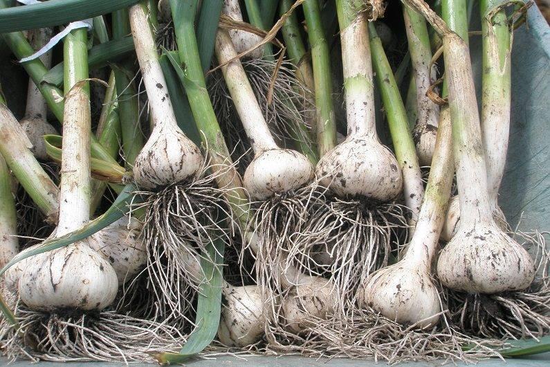 Планируй и получай урожай: что сажать на следующий год после чеснока