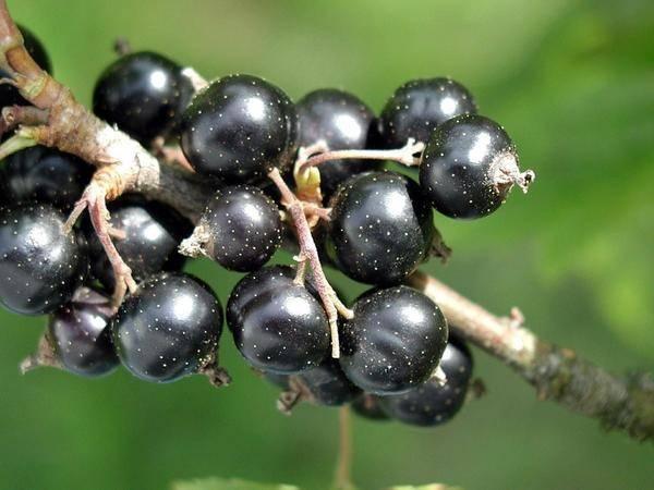 Чёрная смородина деликатес