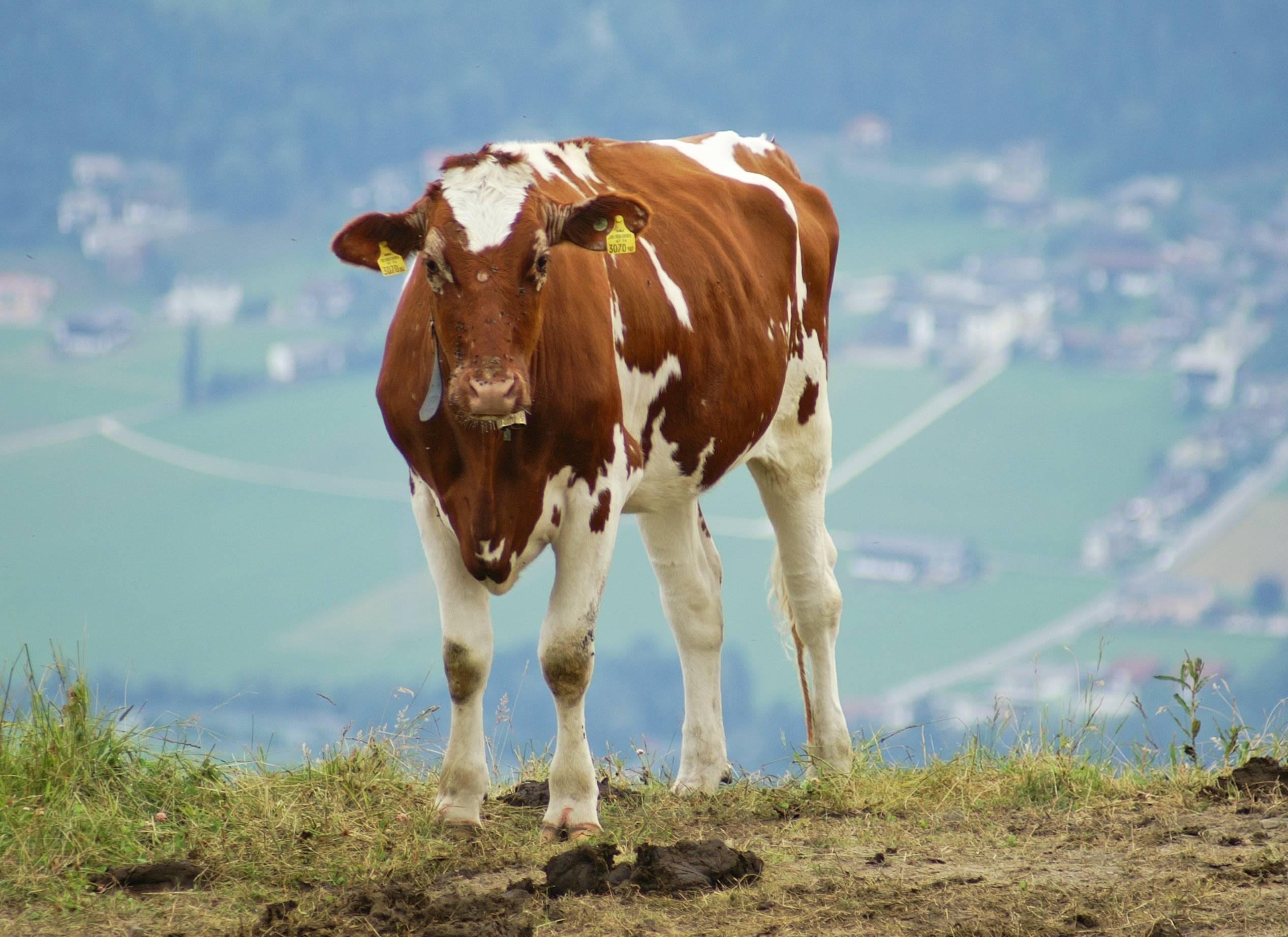 Айрширская порода коров выращивание корма болезни коровник