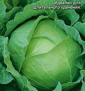 Выбираем сорт белокочанной капусты: по сроку созревания и региону произрастания