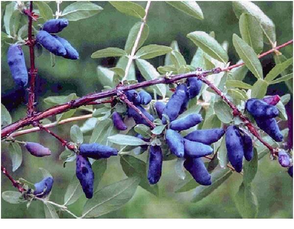 Съедобная жимолость сорта длинноплодная: особенности агротехники