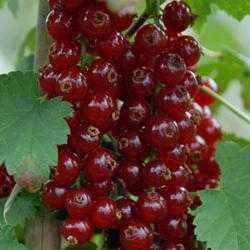 Красная смородина сахарная: основные характеристики сорта