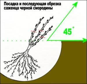 Размножаем чёрную смородину черенкованием правильно