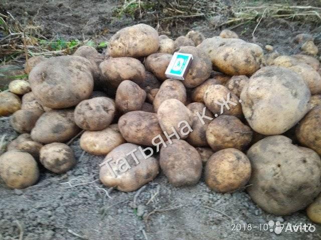 Картофель сынок — описание сорта, фото, отзывы, посадка и уход