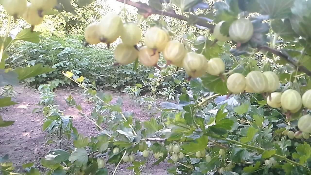 Крыжовник медовый: описание сорта, фото, отзывы садоводов, посадка и уход