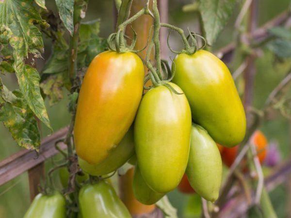 Томат банановые ноги: характеристика и описание сорта