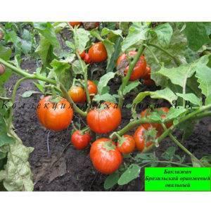 Описание сорта баклажана блэк бьюти, его характеристика и урожайность