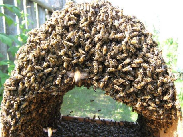 Роение пчел и меры его предупреждения: видео