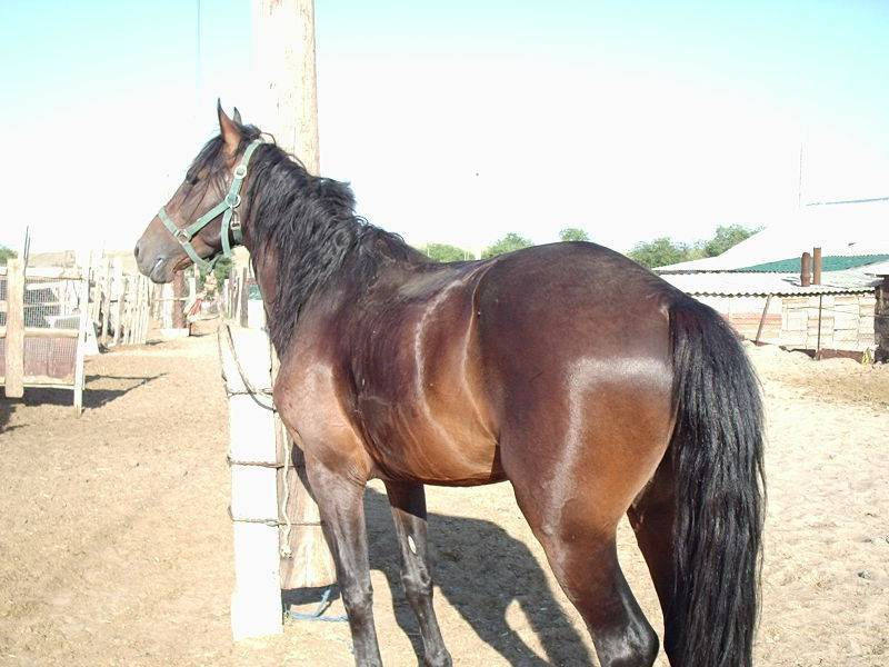 Донская лошадь: особенности содержания породы