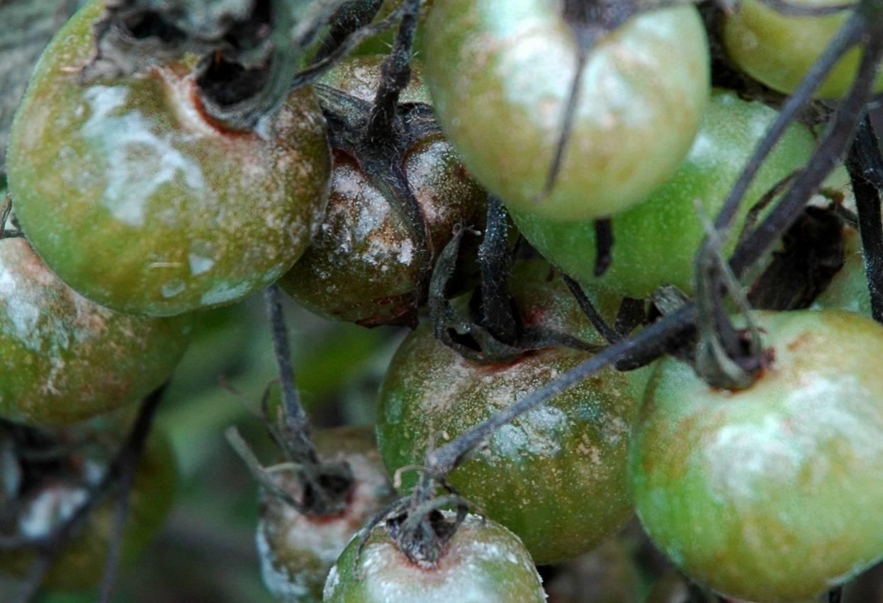 Проверенные народные средства от фитофторы на помидорах