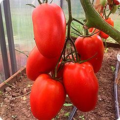 «царское искушение» – поистине королевский урожай томатов
