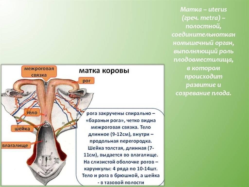 Субинволюция матки после родов: лечение, симптомы, причины