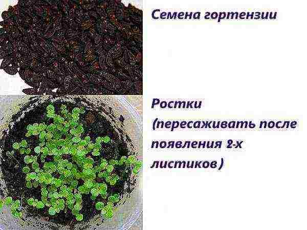 Правильное выращивание гортензии из семян в домашних условиях