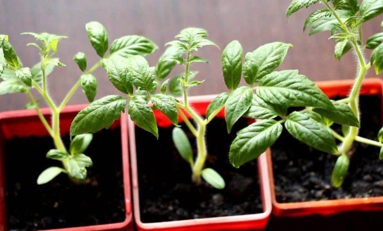 Черная ножка у помидор - что делать и как обрабатывать томаты (110 фото)