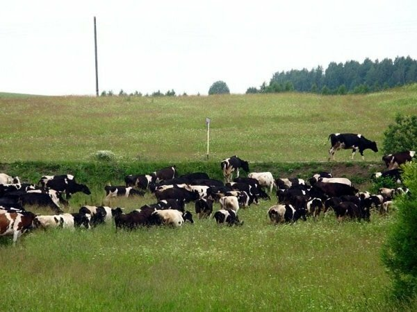 Отравление коровы по видам и способы помочь рогатой скотинке